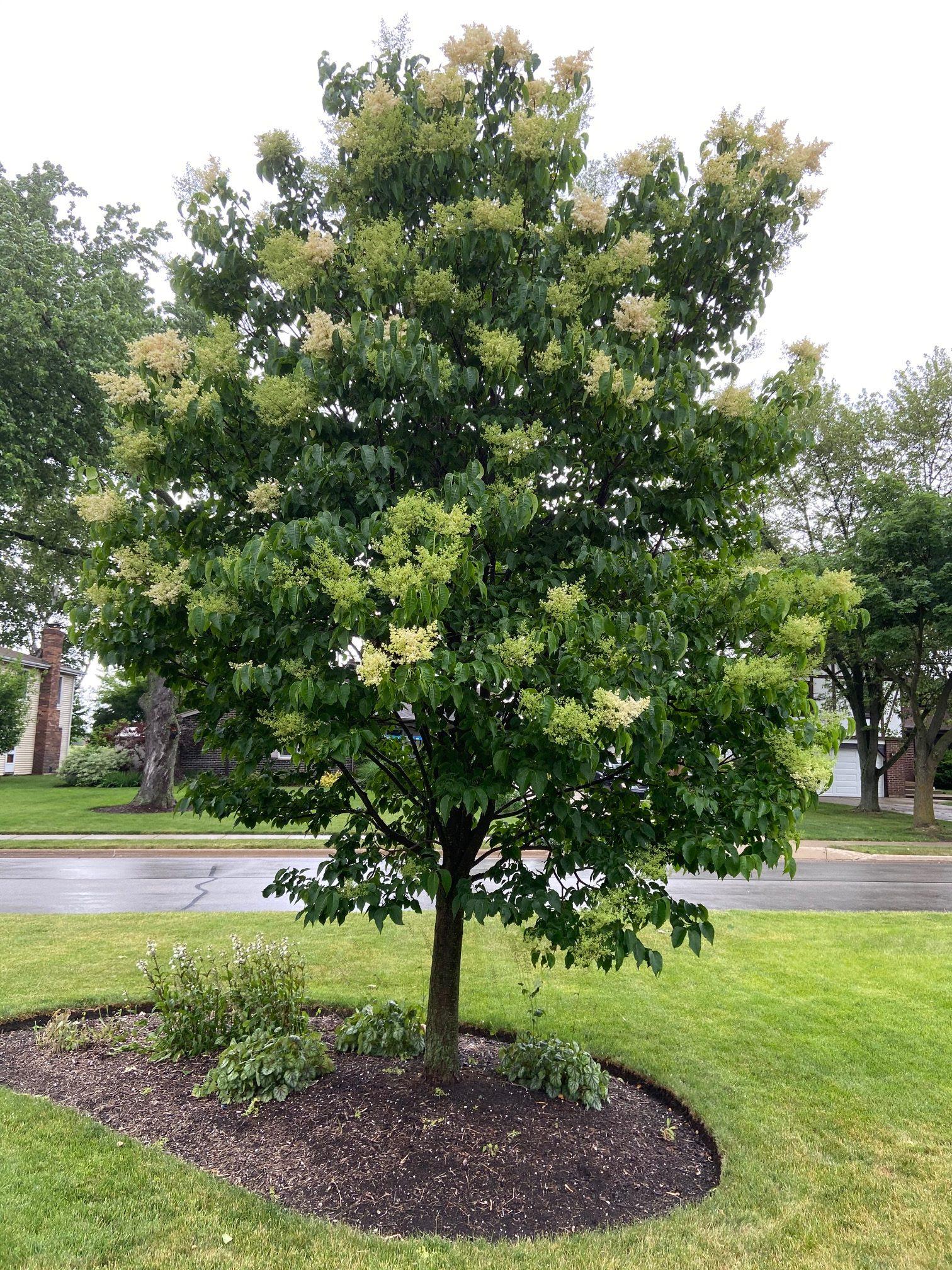 Lilac Jap tree 20